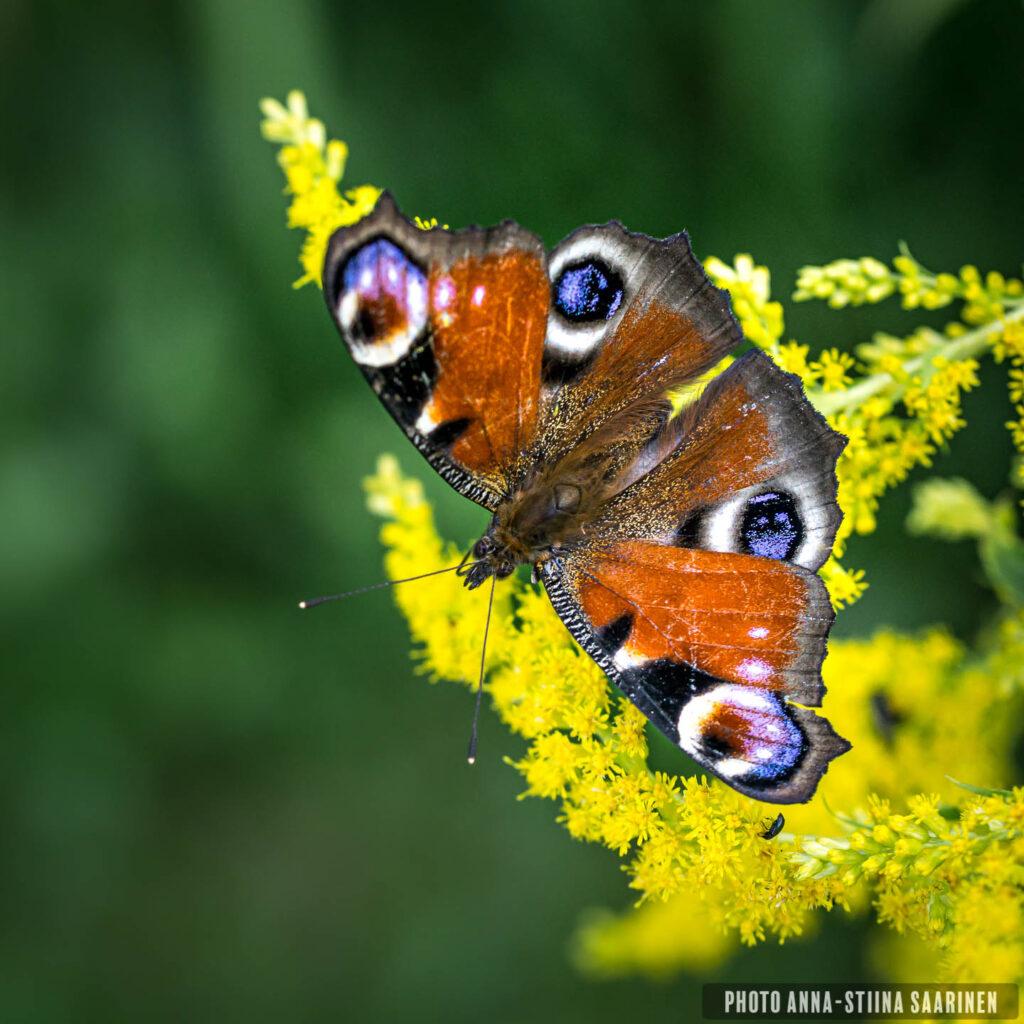peacock butterfly photographer Anna-Stiina Saarinen annastiinasphotos.com