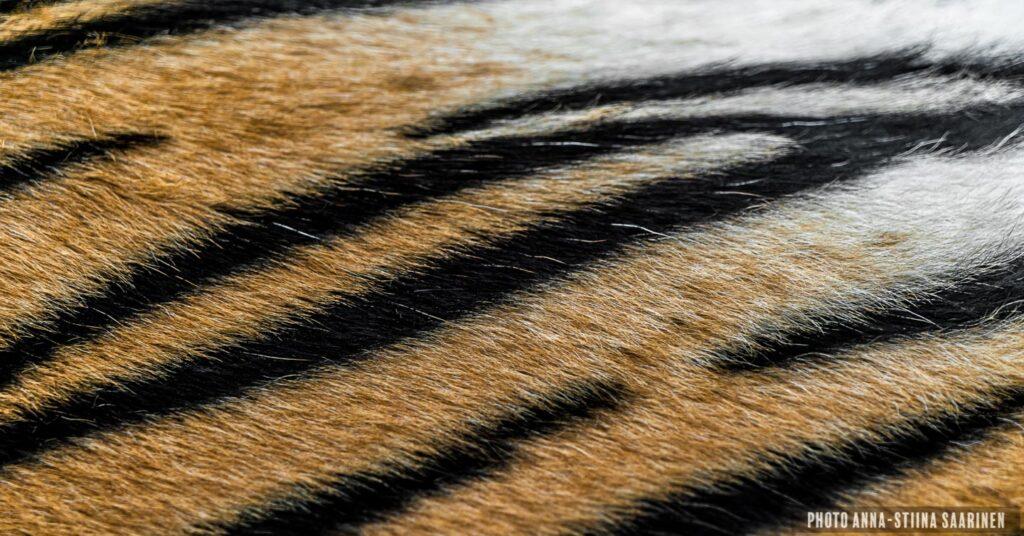 Piece of the coat of a Siberian Tiger, Lisboa zoo, photo Anna-Stiina Saarinen annastiinasphotos.com