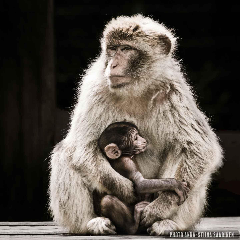 Barbary ape mother and baby, Givskud Zoo Safari Park photo Anna-Stiina Saarinen annastiinasphotos.com
